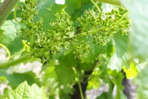 vigne chateau du mayne
